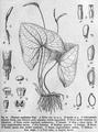 Ulearum sagittatum from Engler.png