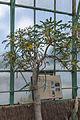 Uncarina roeoesliana - 86.jpg