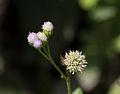 Unidentified Flower, Sari Temple, 2014-04-10 01.jpg