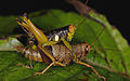 Unknown grasshopper (14525654842).jpg