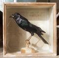 Uppstoppad fågel från 1800-1825 - Skoklosters slott - 95030.tif