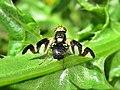 Urophora cardui (Tephritidae) - (male imago), Arnhem, the Netherlands.jpg