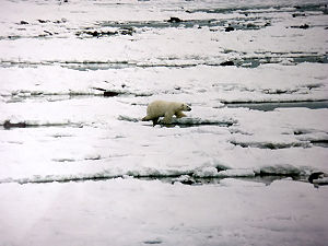 Hudson Bay - Polar bear walks on newly formed ice in early November at Hudson Bay.