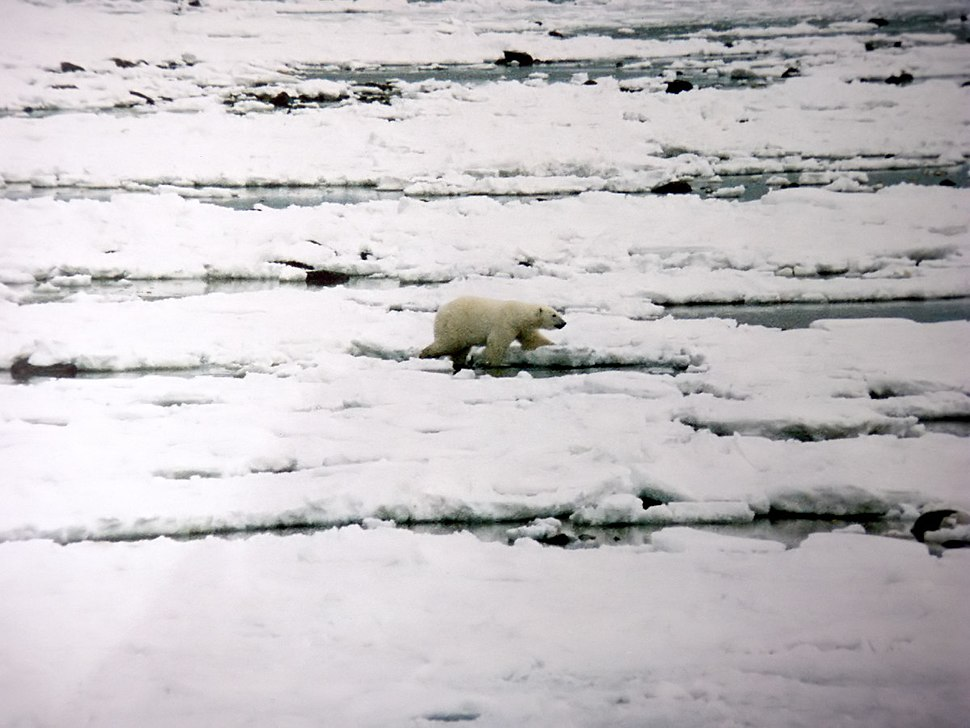 Ursus maritimus walks over ice