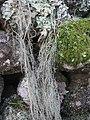 Usnea articulata (L.) Hoffm 298047.jpg