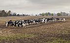 Vacas comiendo pienso, Kokomo, Indiana, Estados Unidos, 2012-10-20, DD 01.jpg