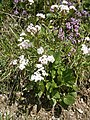 Valeriana montana003.jpg