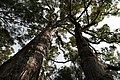 Valley of the Giants, Walpole Nornalup National Park 23.jpg