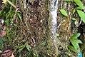 Vanilla planifolia 4zz.jpg
