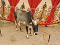 Vechur cattle-6-praba pet-salem-India.jpg