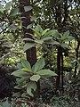 Vernonia arborea 15.JPG
