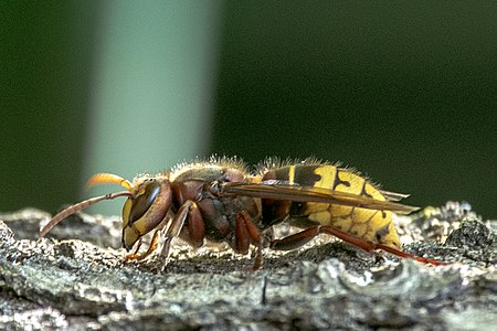 Vespa crabro06(js), Lodz(Poland).jpg