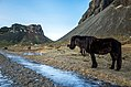 Vesturhorn Icelandic horse (16283436859).jpg