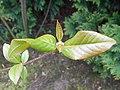 Viburnum prunifolium 2017-04-30 8795.jpg