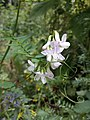 Vicia sylvatica sl13.jpg