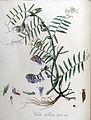 Vicia villosa — Flora Batava — Volume v9.jpg