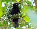 Vieillot's Black Weaver (Ploceus nigerrimus) (7699966352).jpg