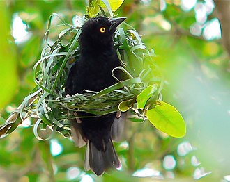 Vieillot's black weaver - Male constructing his nest