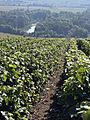 Vigne Pinot noir (Vue sur la Marne) Cl.J.Weber04 (23049537944).jpg