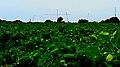 Vigneto ed antenne della stazione radiomarittima a Mazara del Vallo 1 - Flickr - Rino Porrovecchio.jpg