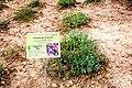 Viola-cazorlensis-2019.jpg