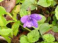 Viola cornuta1Urdax2015.jpg