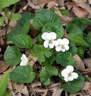 Viola sororia - Image: Violet Alba