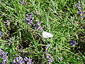 Violet flowers 2007 and a white butterfly.JPG