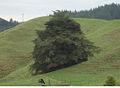 Waitomo Big Tree - Flickr - Teacher Traveler.jpg