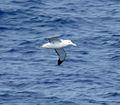 Wandering Albatross 48 (3450442166).jpg