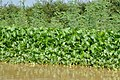 Water hyacinth- typical vegetation of the area (14350621643).jpg
