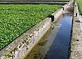 Watercress Bed Irrigation channel - geograph.org.uk - 723290.jpg