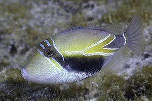 Reef triggerfish - Image: Wedgetail Triggerfish, juvenile Rhinecanthus rectangulus (10913246303)