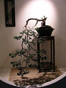Weeping bonsai.jpg