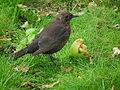 Weibliche Amsel frisst Apfel.JPG