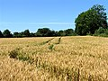Wheat field at Cross Lanes - geograph.org.uk - 26743.jpg