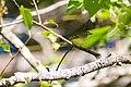 White-eyed vireo (30188610196).jpg