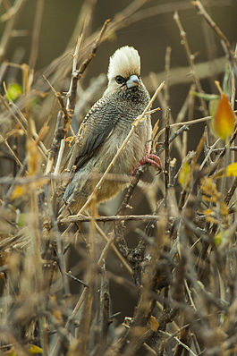 White-headed Mousebird - Samburu NH8O5520.jpg