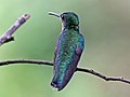 White-necked Jacobin female RWD4.jpg