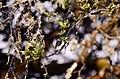 White-throated bushtit (Aegithalos niveogularis) JEG9985.jpg