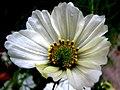 White Cosmo (276840491).jpg
