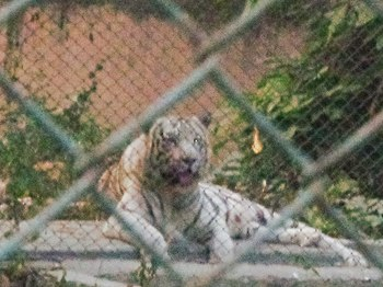White Tiger In Lucknow Zoo.jpg