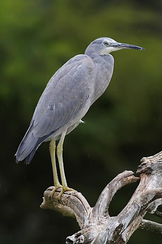 White-faced heron - Juvenile plumage