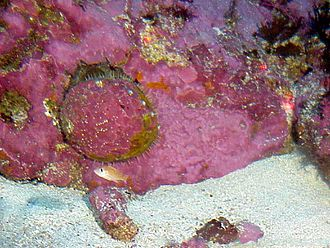 Haliotis sorenseni - A live individual of Haliotis sorenseni, left of center. The shell and the rock are covered with red coralline algae.