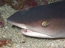 Whitetip reef shark head.JPG