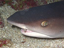Close-up of the head of a whitetip reef shark, which has a wedge-shaped snout, oval eyes, and tubular flaps of skin next to the nostrils