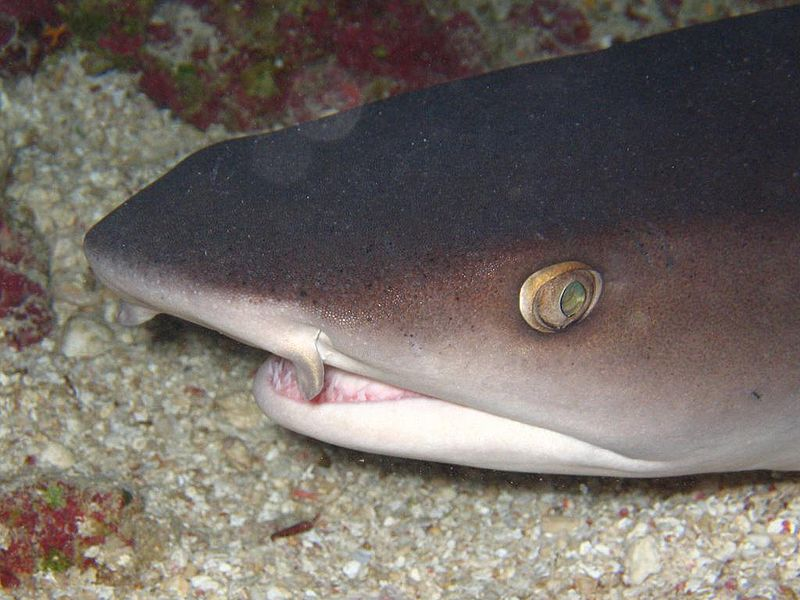 File:Whitetip reef shark head.JPG