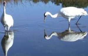 Texas Coastal Bend - The whooping crane