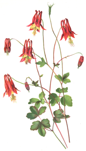 "Isaac Sprague - ""Wild Columbine"" (Aquilegia canadensis), from The Wild Flowers of America, 1886"