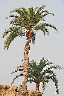 <i>Phoenix sylvestris</i> species of plant